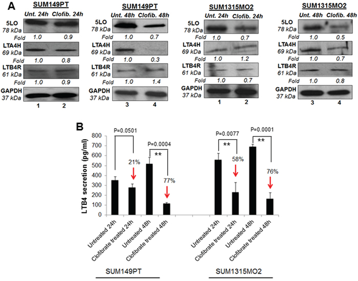 Effect of clofibrate treatment on the 5-lipooxygenase pathway in SUM149PT and SUM1315MO2 cells.