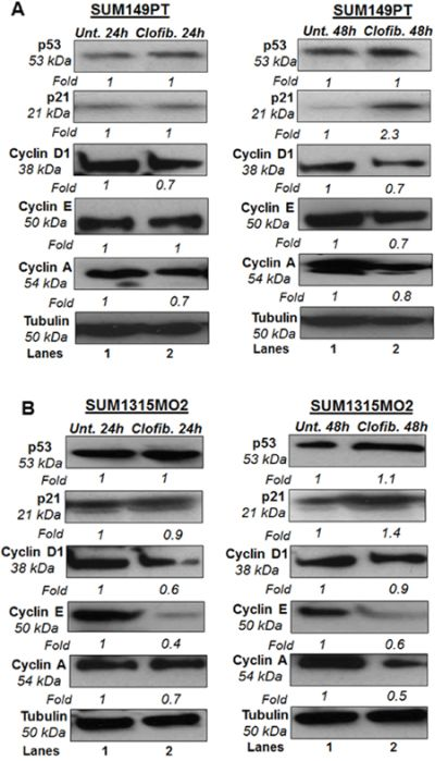 Effect of clofibrate on cell cycle regulatory enzymes.