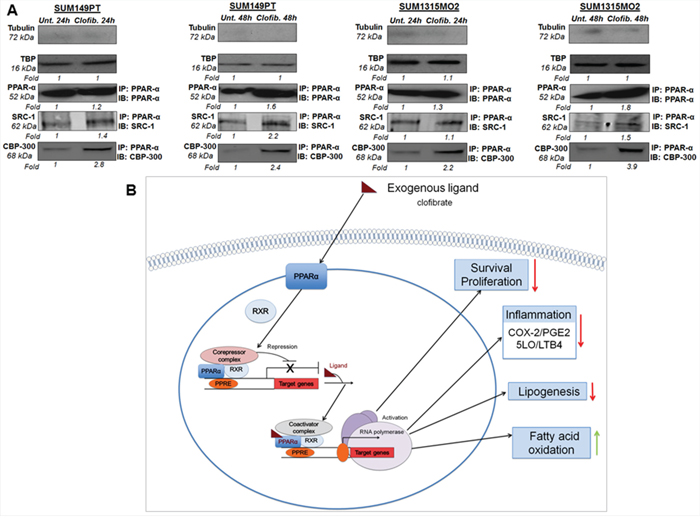 A proposed model for the role of PPARα agonist clofibrate in the regulation of inflammatory and lipid pathways in breast cancer cells.
