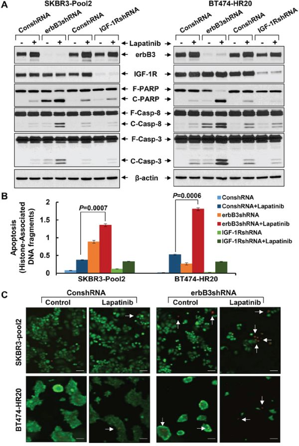 Specific knockdown of erbB3, but not IGF-1R, markedly enhances lapatinib-induced apoptosis in trastzumab-resistant breast cancer cells.
