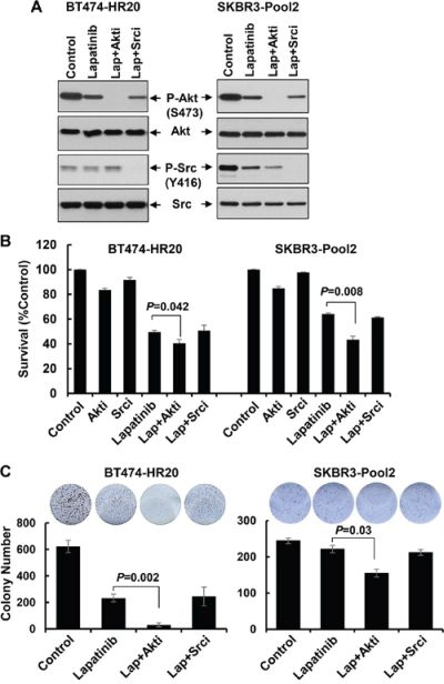 Specific inhibition of Akt, but not Src, significantly enhances lapatinib-mediated growth inhibition and long-term suppressive effects on colony formation.
