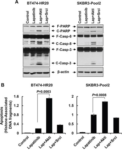 The Akt inhibitor, but not Src inhibitor, dramatically potentiates lapatinib-induced apoptosis in trastzumab-resistant breast cancer cells.