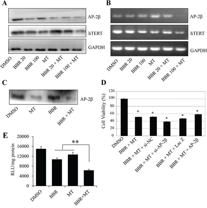 Melatonin enhanced the berberine-mediated inhibition of AP-2β/hTERT signaling.
