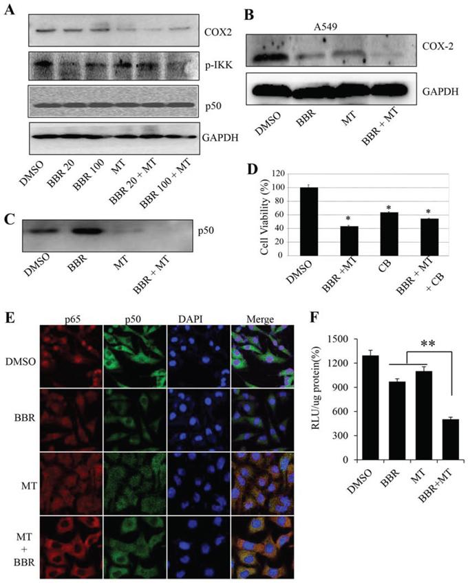 Melatonin enhanced the berberine-mediated inhibition of p50/COX-2 signaling.