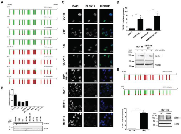 DNA methylation-associated transcriptional silencing of SLFN11.