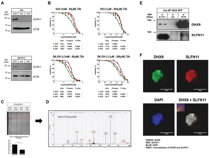 Impact of SLFN11 in cisplatin/carboplatin chemoresistance in vitro and the search for a protein partner.