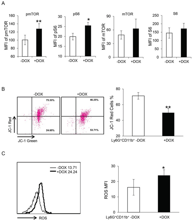 Overexpression of dnPPARγ in myeloid cells overactivates the mTOR pathway, increases ROS production and impairs mitochondrial membrane potential.