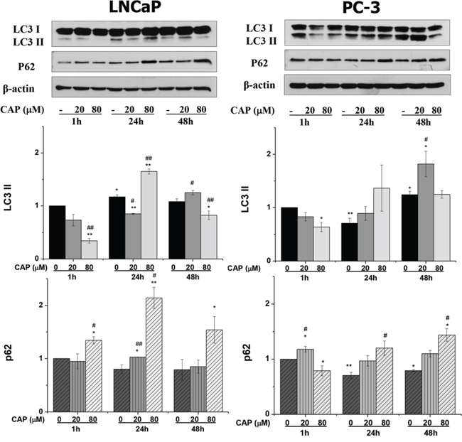 Autophagy blockage induced by capsaicin in prostate cancer cells.