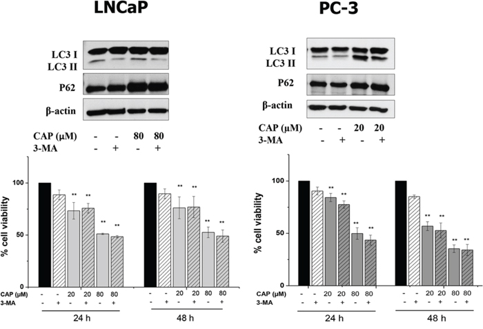 Autophagy inhibition with 3-MA do not modify the effect of capsaicin in prostate cancer cells.