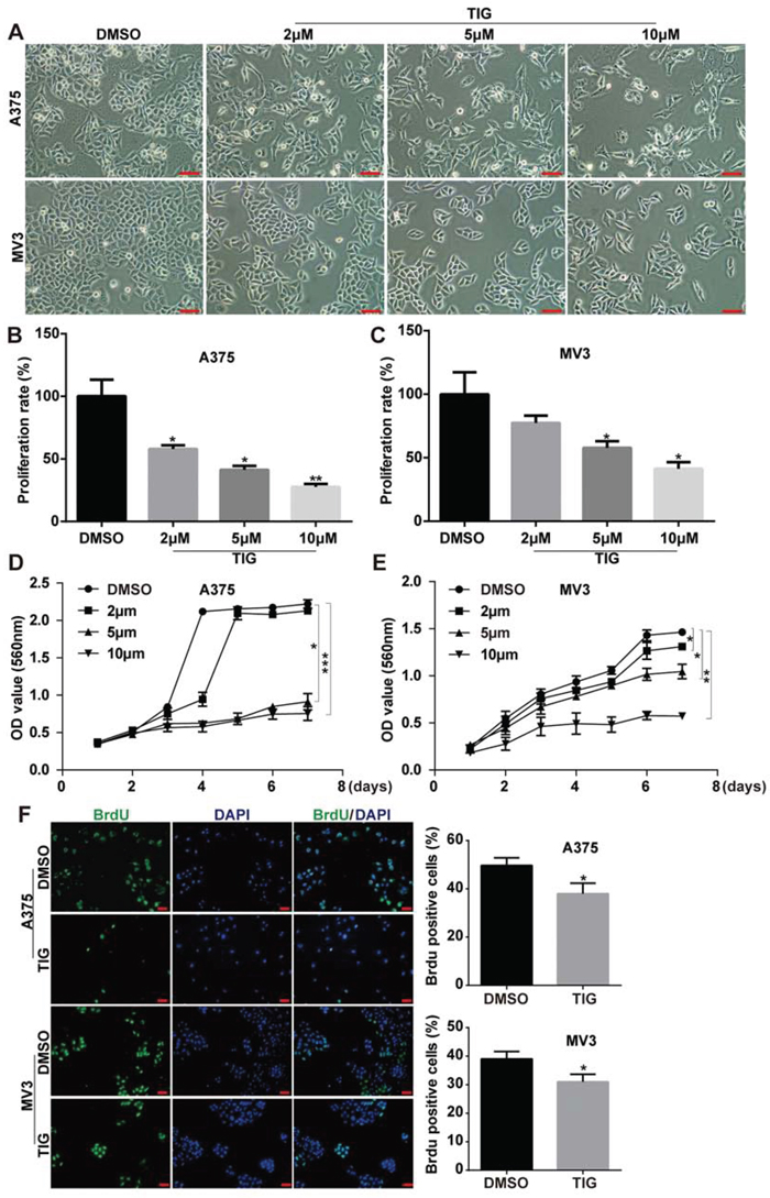 Tigcycline inhibited cell growth and proliferation in human melanoma cells.