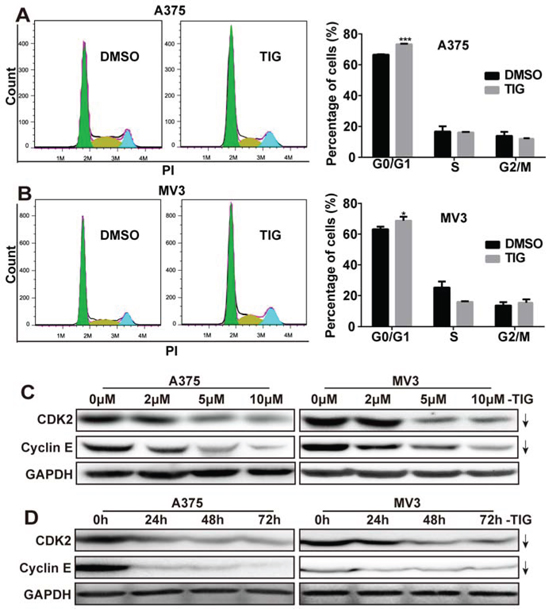 Tigecycline induced cell cycle arrest at G1 phase in human melanoma cells.