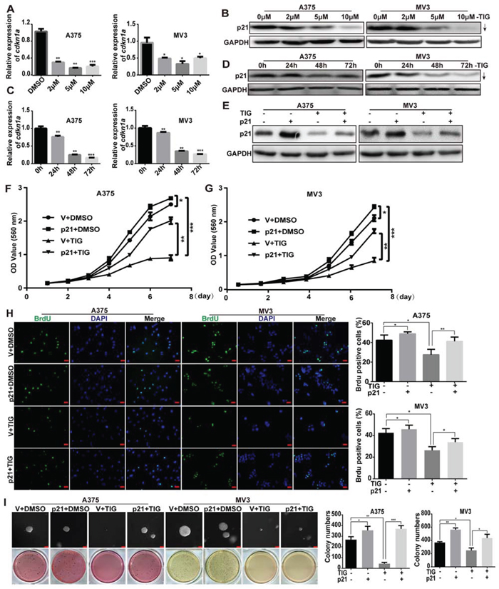 Overexpression of p21 rescued tigecycline-induced cell growth and proliferation inhibition in human melanoma cells.