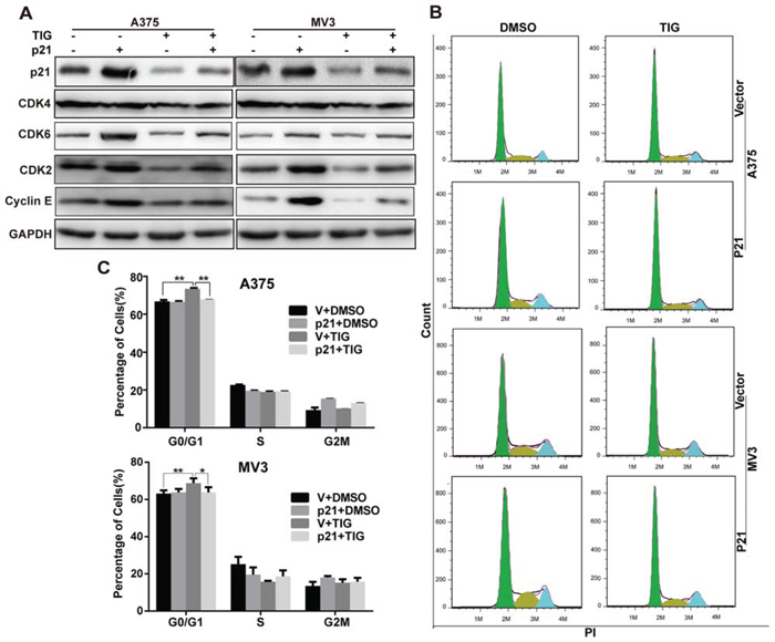 Overexpression of p21 recovered tigecycline induced cell cycle arrest in human melanoma cells.