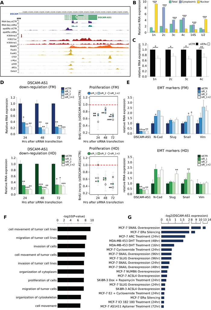 DSCAM-AS1 lncRNA is functional to the basal ERα activity.