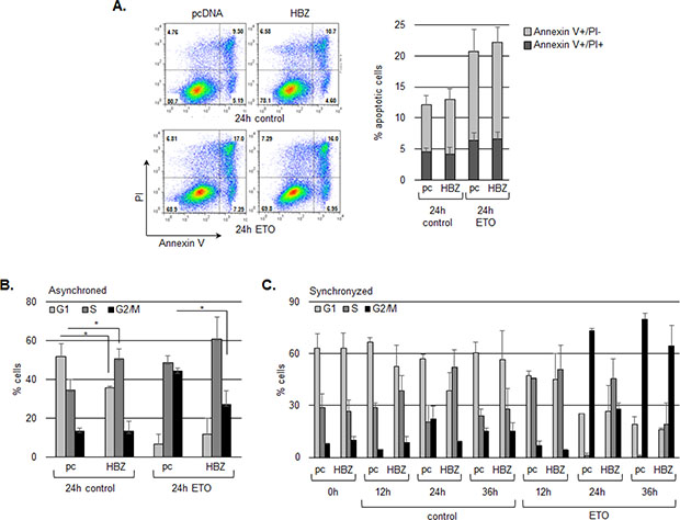HBZ delays cell cycle arrest in G2/M following treatment with etoposide.