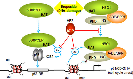 Model summarizing the effects of HBZ on p53-regulated transcription of p21/CDKN1A.
