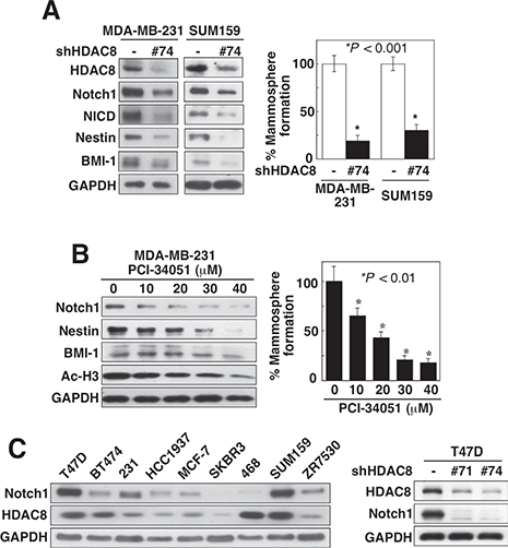 Knockdown of HDAC8 suppresses CSC phenotype.