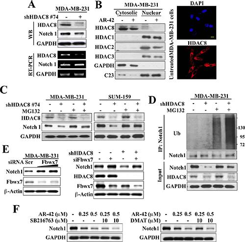 HDAC8 inhibition facilitates Fbwx7-dependent degradation of Notch1.