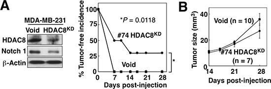 HDAC8 knockdown suppresses tumor-initiating ability of BCSCs in vivo.