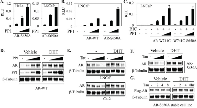 PP1α can stabilize and activate AR independently of phospho-S650 dephosphorylation.