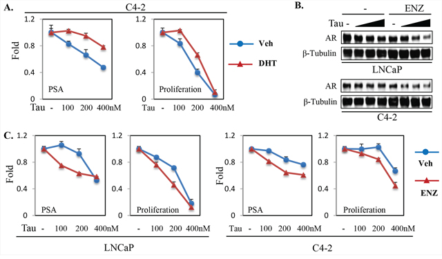 Androgen ablation increases PP1α-dependence for AR protein expression and transactivation in PCa cells.