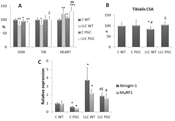 PGC-1α overexpression prevents cachexia in LLC-bearing mice.