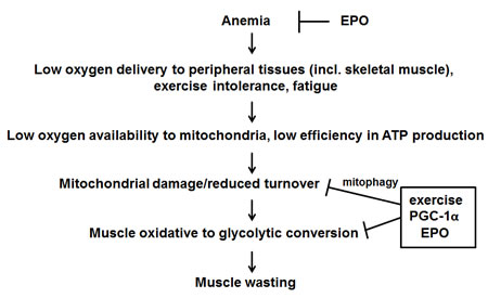 Proposed mechanism of action of exercise, EPO and PGC-1α in counteracting tumor-induced muscle alterations.