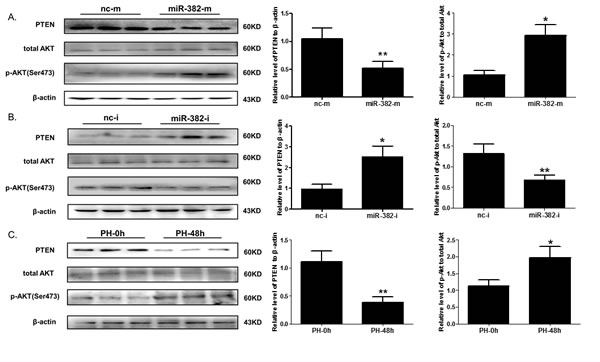 miR-382 negatively correlates with PTEN expression at protein level both
