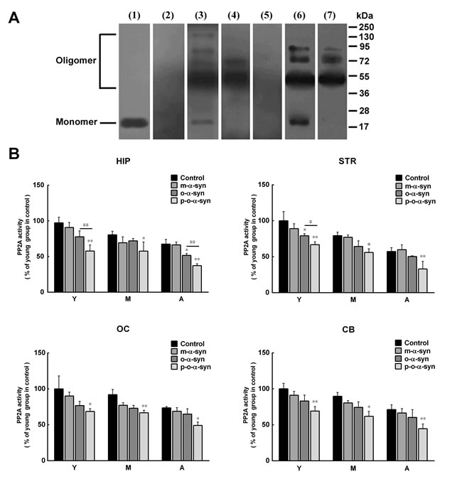 Effect of phosphorylated and non-phosphorylated oligomeric α-syn on PP2A activity.