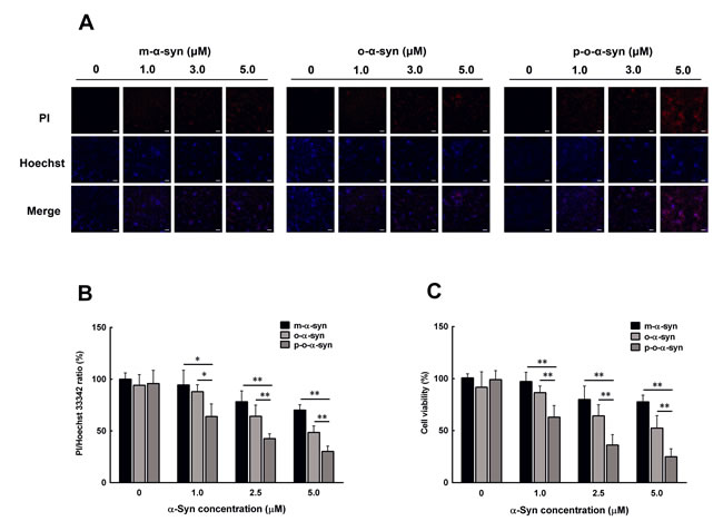 Effect of phosphorylated oligomeric α-syn on dopaminergic neuronal cells.