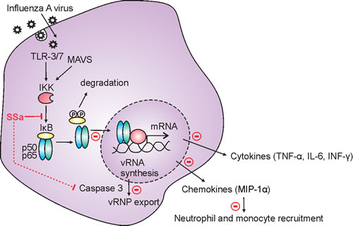 Oncotarget Saikosaponin A Inhibits Influenza A Virus Replication