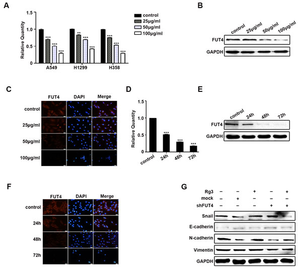 Rg3 decreased EMT by down-regulating FUT4 in lung cancer cells.