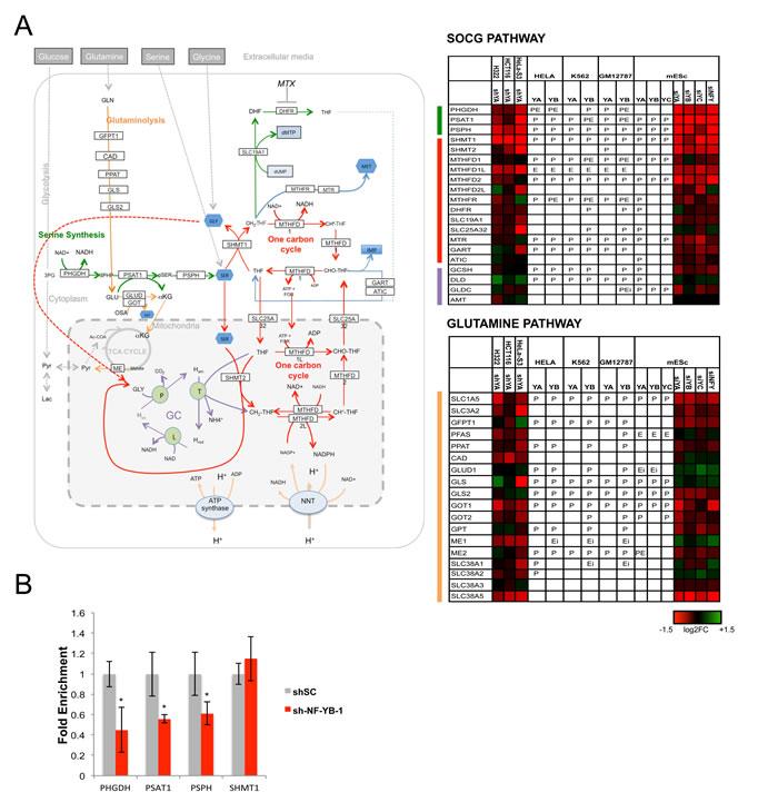 Activation of SOCG genes by NF-Y.