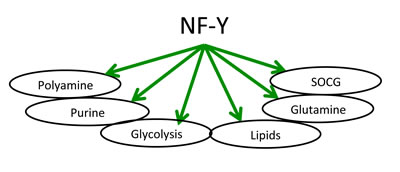 Schematic representation of metabolic pathways regulated by NF-Y.