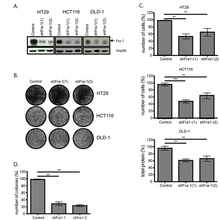 Fra-1 is not critically required for proliferation of colon cancer cells