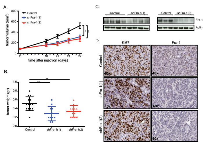 Fra-1 is largely dispensable for primary colon tumor growth