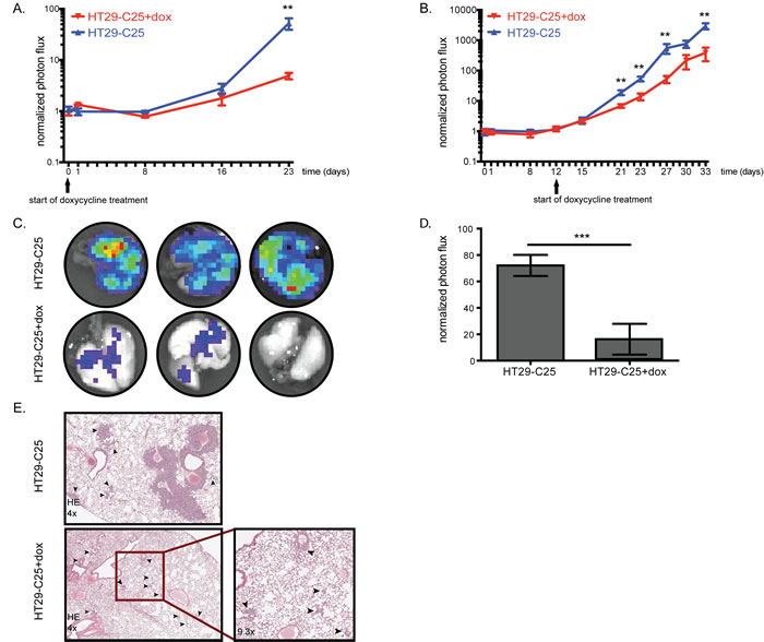 Acute Fra-1 depletion impairs growth of established metastatic foci.