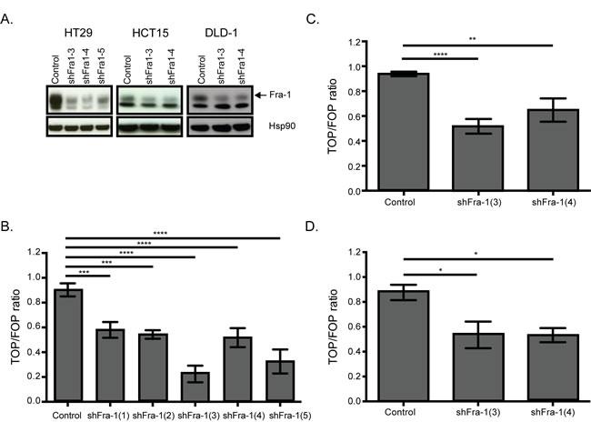 Fra-1 regulates beta-catenin activity.