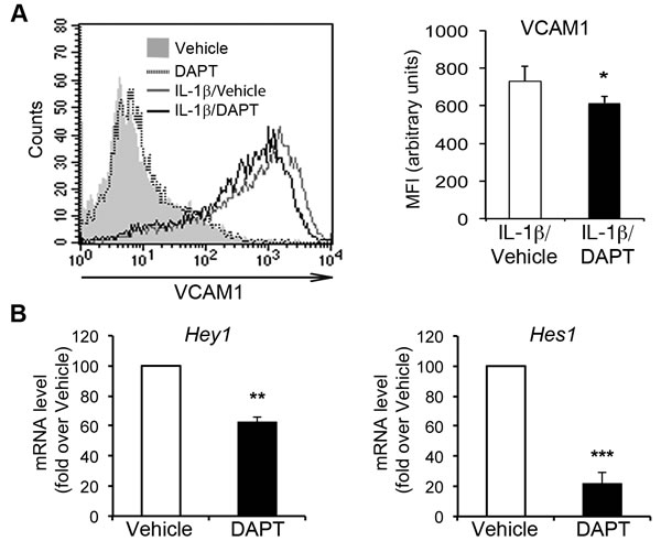 Pharmacological inhibition of Notch signaling impairs IL-1β-induced VCAM1 upregulation in human aortic endothelial cells (HAECs).