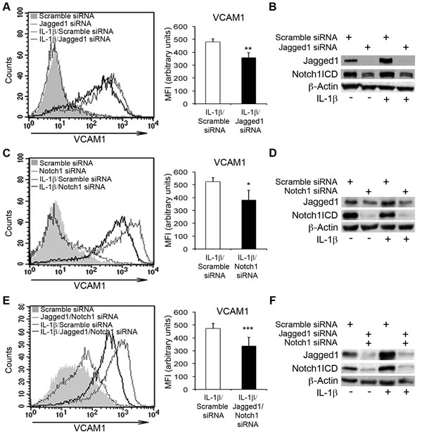 The silencing of Notch1 and Jagged1 impairs IL-1β-induced VCAM1 upregulation in human aortic endothelial cells (HAECs).