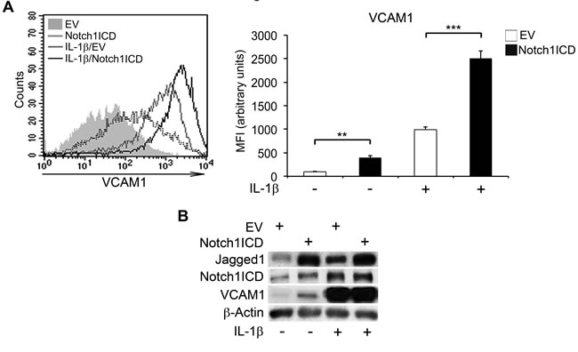 Forced expression of Notch1ICD increases VCAM1 expression in human aortic endothelial cells (HAECs).