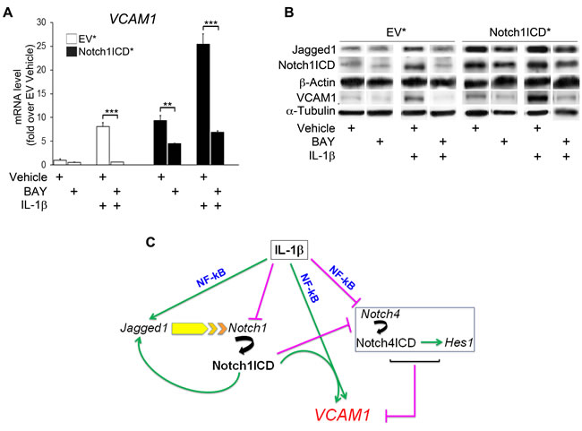 Notch1ICD-mediated VCAM1 induction is partly counteracted by NF-kB inhibition in human umbilical vein endothelial cells (HUVECs).