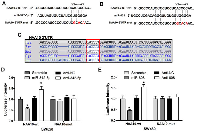 MiR-342-5p and miR-608 directly targeted NAA10 for degradation.