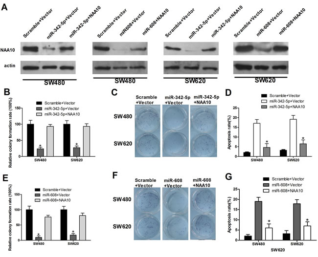 NAA10 restoration rescued miR-342-5p and miR-608 mediated cell proliferation, migration, and colony formation defects and promoted cell apoptosis suppressed by miR-342-5p or miR-608.