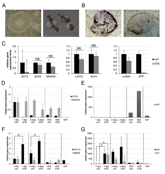 Dynamic changes of pluripotency- and apoptosis-related gene expression patterns upon STB-HO treatment of differentiating hES cells.