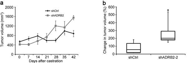 LNCaP shADRB2 xenograft tumors grow more rapidly than shCtrl tumors in castrated mice.