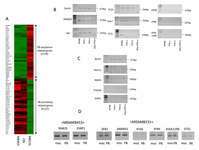 Identification of PB sensitivity-related genes and PB resistance-related genes using expression microarrays and expression changes after demethylation treatment.