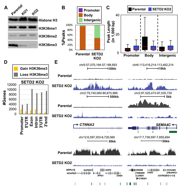 Reduction and redistribution of H3K36me3 upon inactivation of