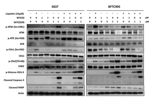 Western blot analysis for DNA Damage Responses (DDRs) and apoptosis pathway.