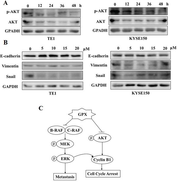 GPX inhibits AKT phosphorylation and epithelial mesenchymal transition (EMT) proteins.